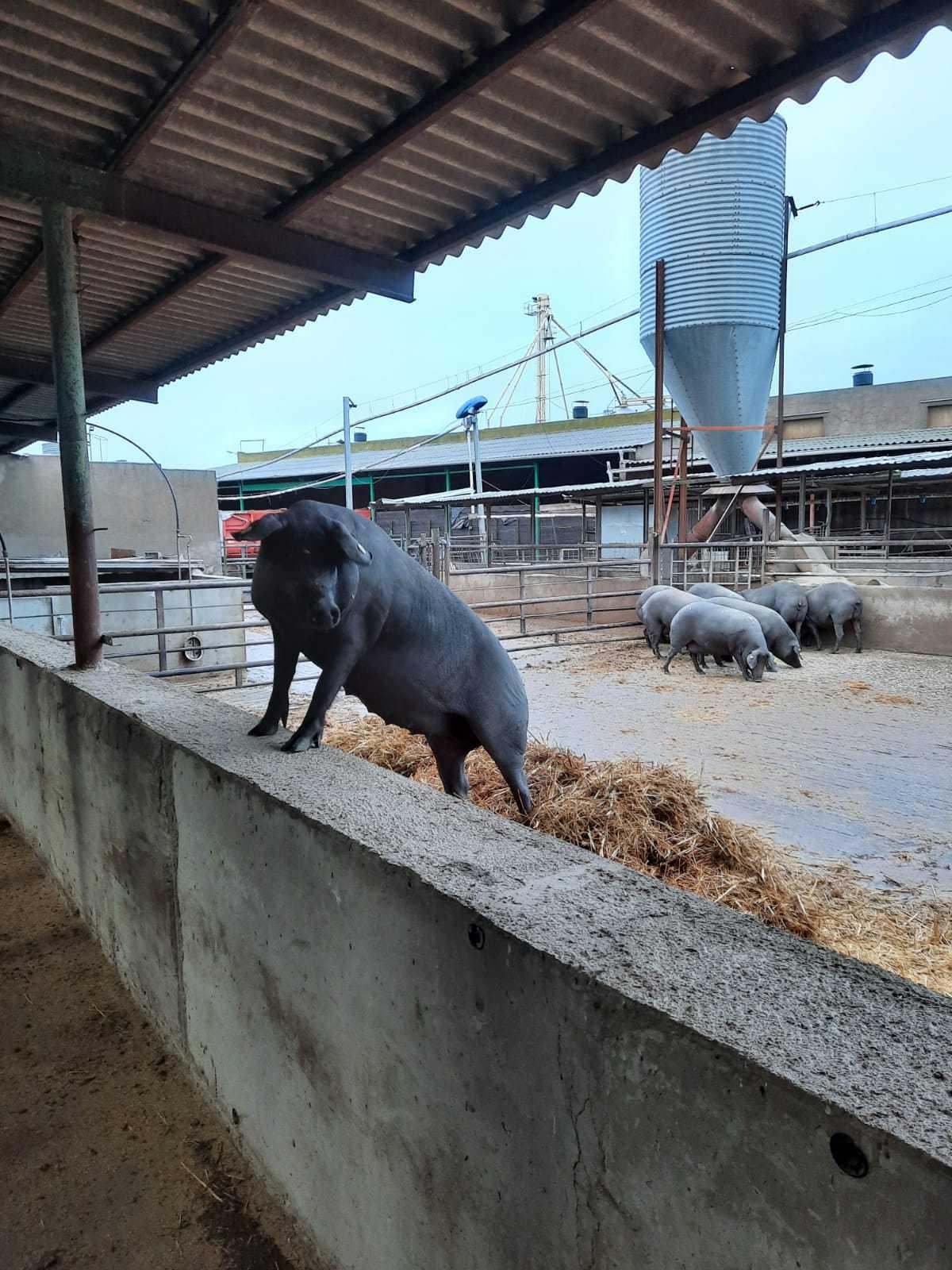 Nuestros propios cerdos